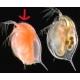 Daphnie carotène congelé sous blister 100gr